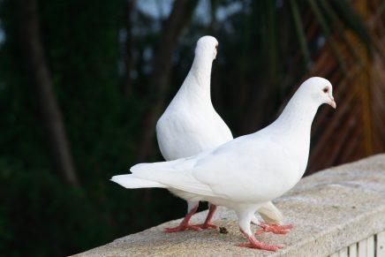 Os pássaros brancos