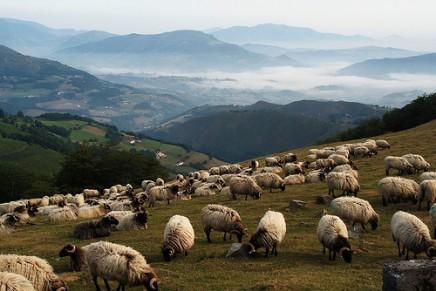 Males que as ovelhas gordas causam no rebanho